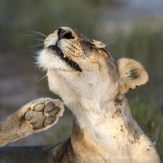 Getting rid of the itch. A lioness scratches her neck in the Nossob Riverbed of the Kgalagadi Transfrontier Park, South Africa.