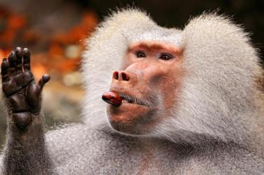 Hamadryas baboon with chestnut