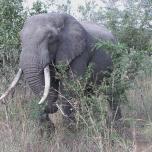 Idube elephant