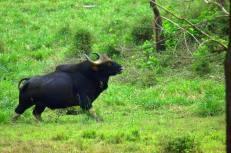 Indian Bison(Gaur)