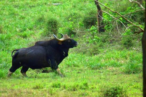 Indian Bison(Gaur)