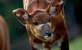 Kenya's Mountain Bongo (facing Extinction)