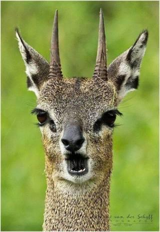 Klipspringer in Kruger National Park - Rene Van Der Schyff