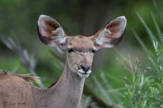 Kudu at Tubu Tree