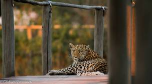 Legedema the leopard on the boardwalk