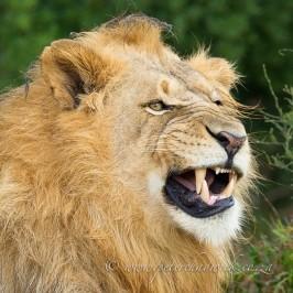 Lion yawn.
