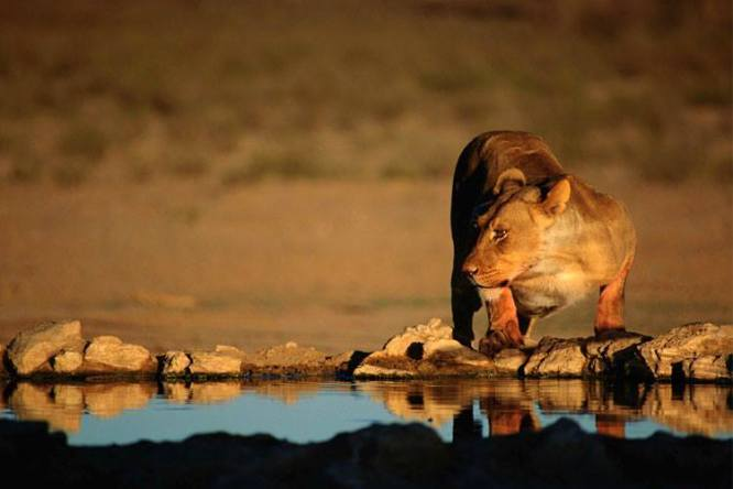 Lioness at waterhole