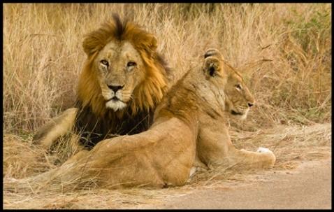 Lions by Jan van der Westhuizen - a student of Mark Drysdale