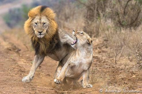 Lions mating by Andrew Schoeman.