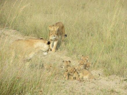 Little Makalolo lions © Ute Latzke