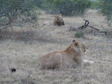 Majingilane male and Othawa lioness