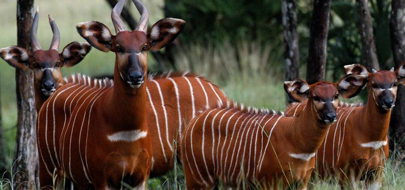 Mountain Bongo family
