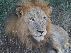 One of four Majingilane males