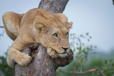 One of the Sparta lionesses takes a time out from the pride's antics to relax on a marula trunk.