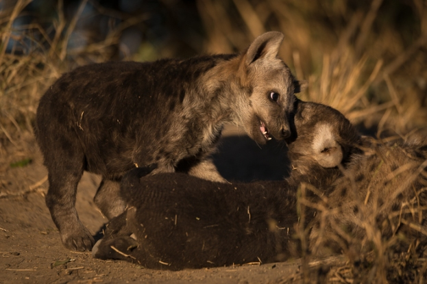 Playful hyena cubs enjoy the last warm rays of sun for the day.