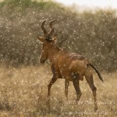 Red Hartebeest bull walking in the rain. Mokala National Park, South Africa.