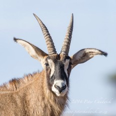 Roan Antelope. Mokala National Park, Northern Cape, South Africa