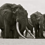 Satao, the great tusker of Kenya, was found dead earlier this month with his face cut off.