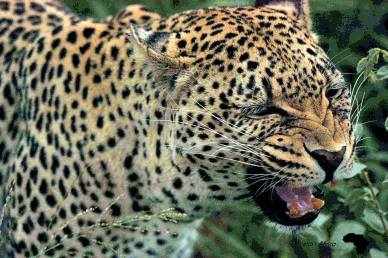 Snarl of the leopard