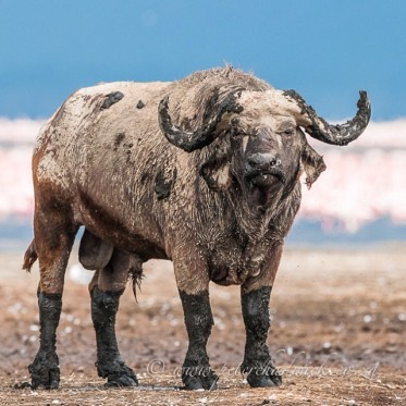 The Boss! Cape Buffalo bull covered in mud after bathing in the cooling shallows of Lake Nakuru in Kenya.