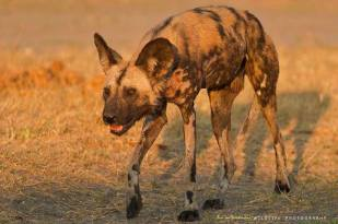 The critically endangered African Wild Dog.