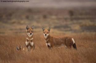 The extremely endangered Ethiopian wolf - Image by Harrington Photography