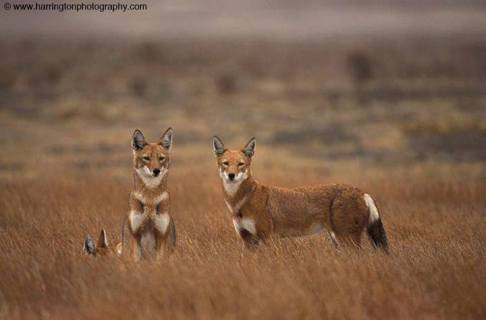The extremely endangered Ethiopian wolf - Image by Harrington Photography