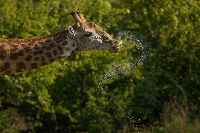 The incredible shapes created by a drinking giraffe. Trevor McCall-Peat