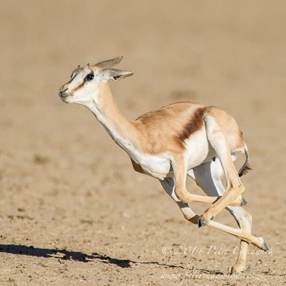 The Joy of Running - a Springbok lamb runs through the herd,