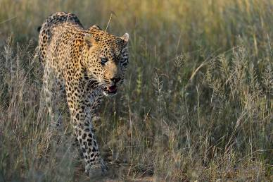 The Kashane male is the largest male Leopard in the area around Singita Sabi Sand