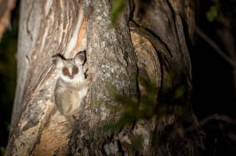 The most relaxed Bush baby I have ever managed to view.