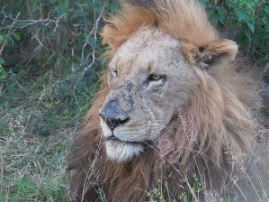 The second Majingilane male