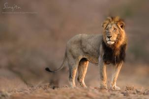 This male lion is from the Xirombe pride