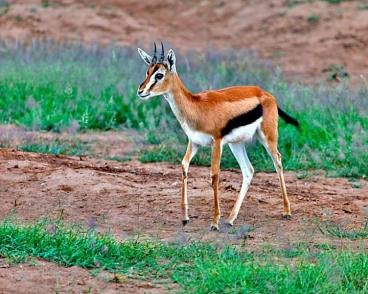 Thompson's Gazelle Youngster, Kenya