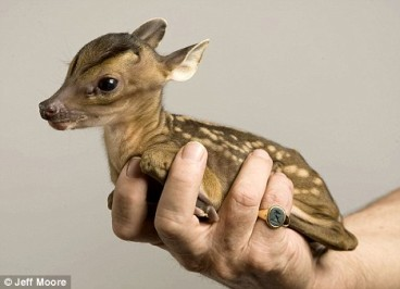 Tiny deer taken from his dead mother's womb