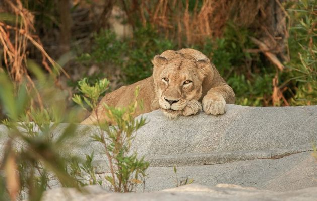 Tsalala female found a good resting place on a granite rock - Londolozi Game Reserve