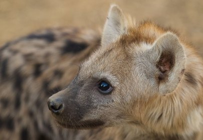 Very inquisitive young hyena