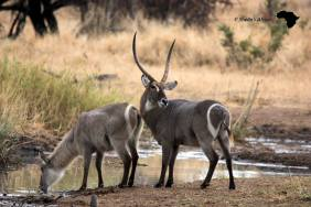 Waterbuck — at Satara Rest Camp - Kruger National Park.