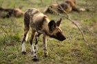 Wild-dog-pup - 5Oct12 Londolozi