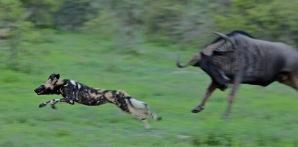 wildebeest-and-wilddog